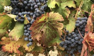 Find the Best Bainbridge Island Wine This Fall